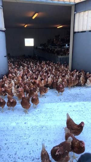 Hühner vom Wiesenhof